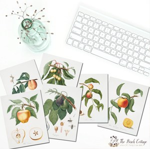 Vintage fruit tree illustrations and prints from The Birch Cottage