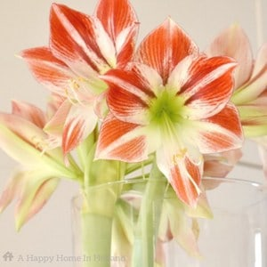 How to make an amaryllis bloom again