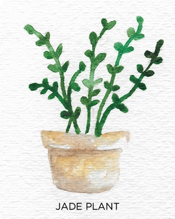 A Guide to Caring for Easy to Grow Indoor Plants including Jade Plant