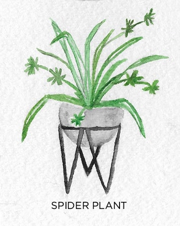 A Guide to Caring for Easy to Grow Indoor Plants including Spider Plant