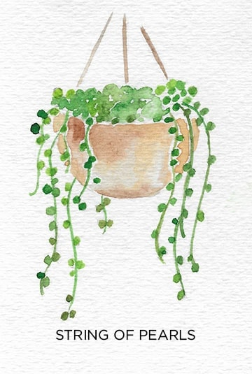 A Guide to Caring for Easy to Grow Indoor Plants including String of Pearls