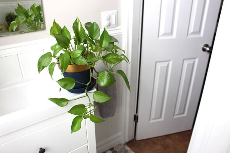 Use a pothos plant to give greenery and life to your home decor.