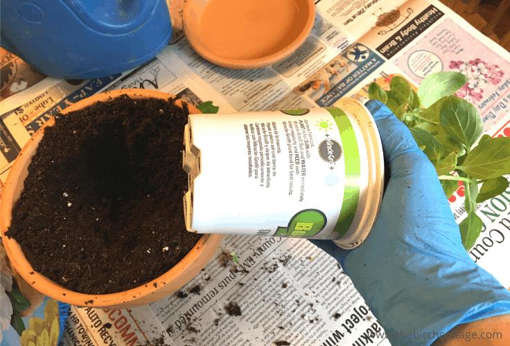 Putting a basil plant into a pot