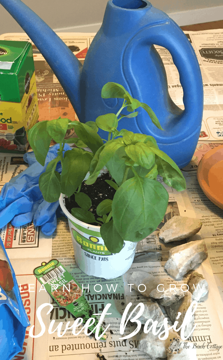 Learn how to grow sweet basil indoors