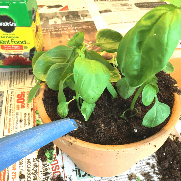 How to Grow Sweet Basil Indoors from Seedlings