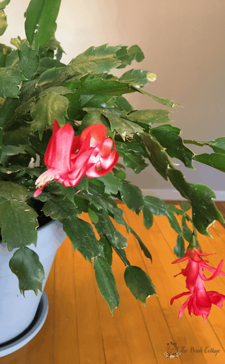 Christmas cactus plant with blooms