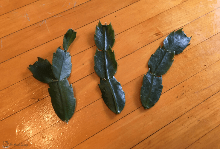 Christmas cactus cuttings