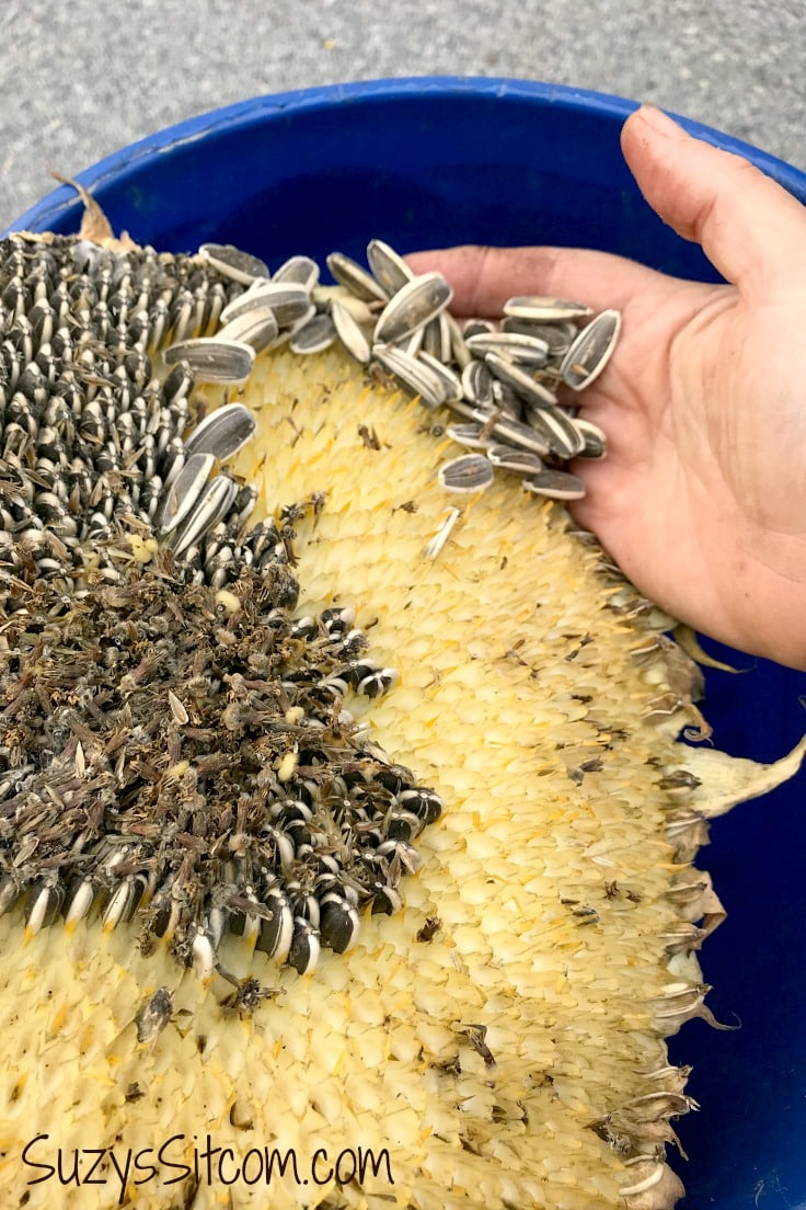 Harvesting sunflower seeds