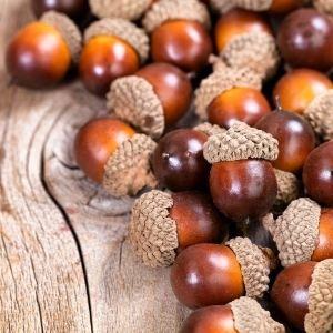 How to prepare acorns fo ruse with crafts.